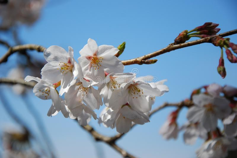Cherry blossoms at Shinjuku Gyoen National Garden.  royalty free stock photos