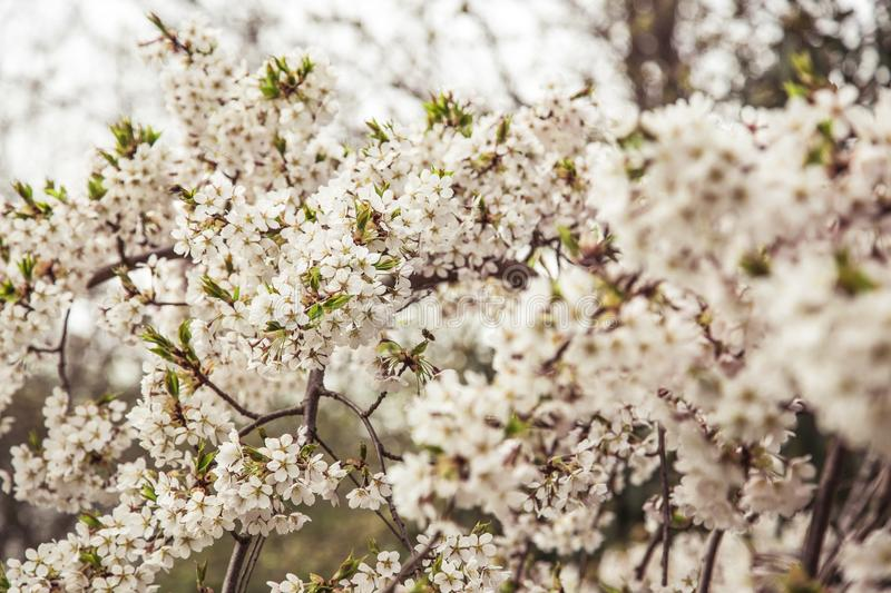 Cherry Blossoms In Spring Free Public Domain Cc0 Image