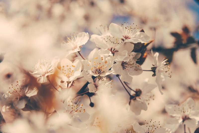 Cherry blossoms in the spring royalty free stock photo