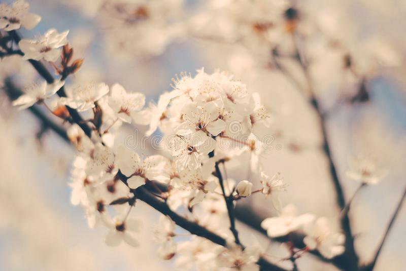 Cherry blossoms in the spring royalty free stock image