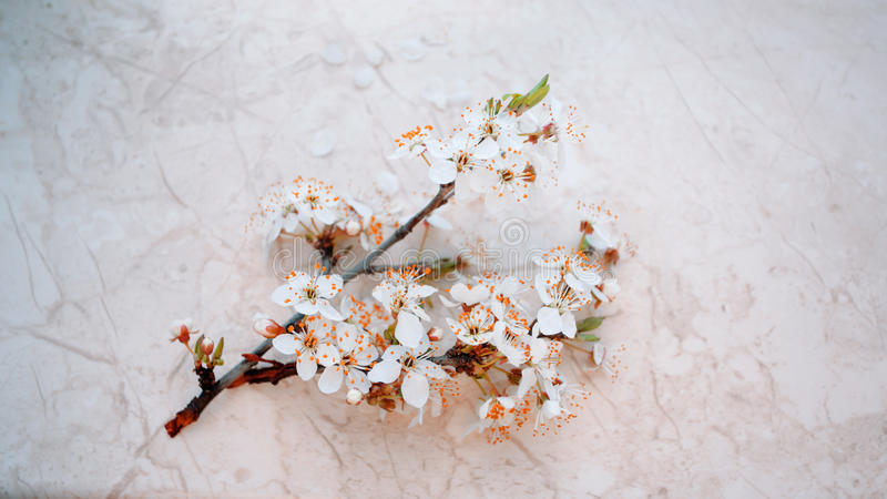 The cherry blossoms in spring. stock photography