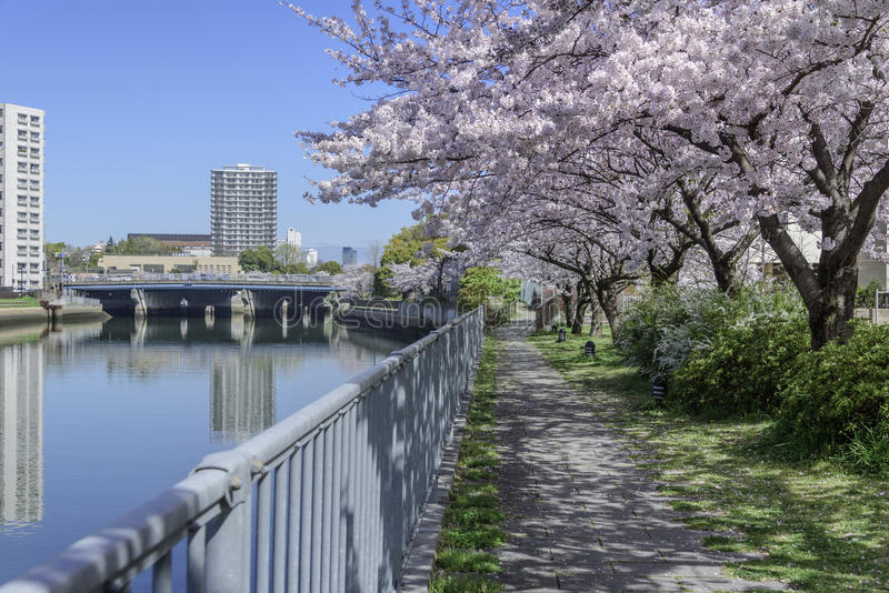 Cherry blossoms. In springtime the flowers enchant royalty free stock photo