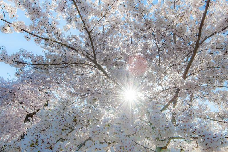 Cherry Blossoms with Sunburst stock photography