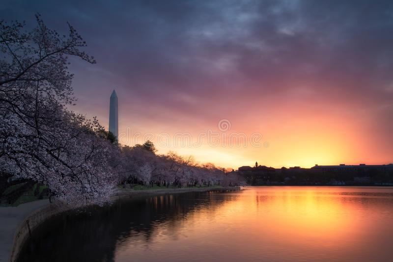 Cherry Blossoms sur le bassin de marée avec Washington Monument et un ciel ardent images stock