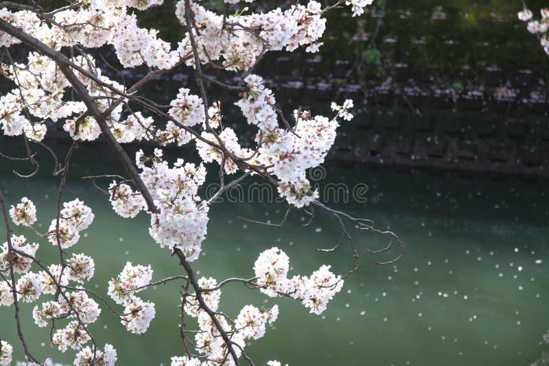 Cherry blossoms and surface of Ooka river, Yokohama. Japan stock photography