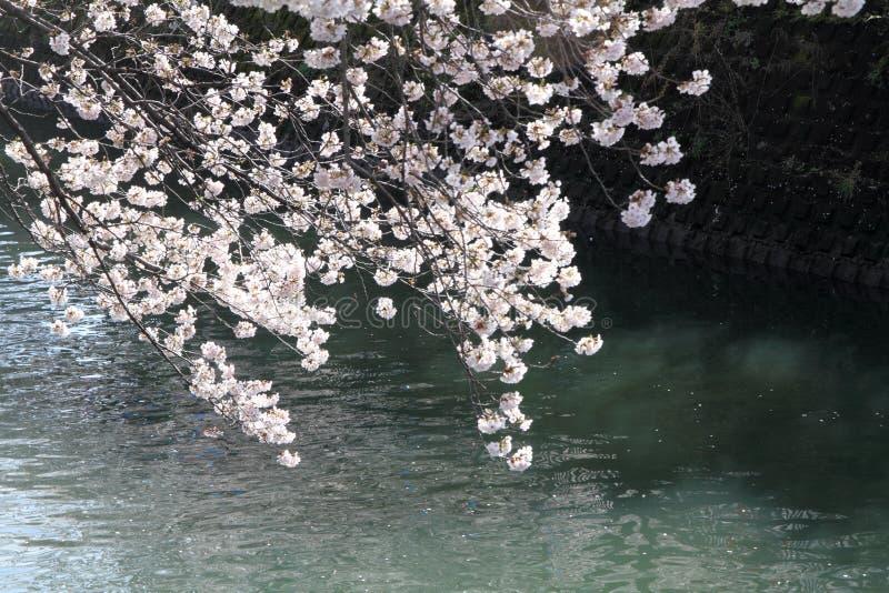 Cherry blossoms and surface of Ooka river, Yokohama. Japan royalty free stock image