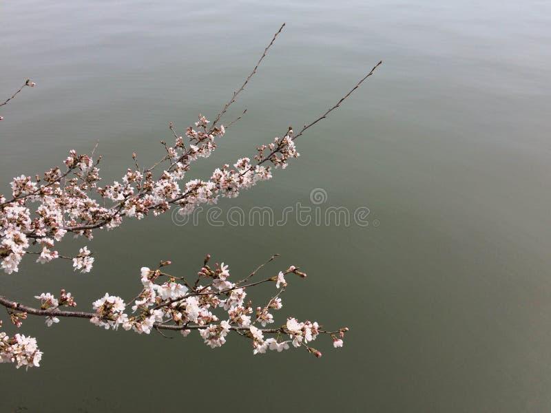 Cherry Blossoms Swooping sobre el agua imagenes de archivo