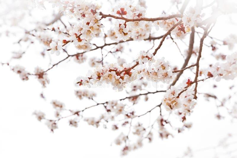 Cherry blossoms. Tender cherry blossoms on misty white stock image