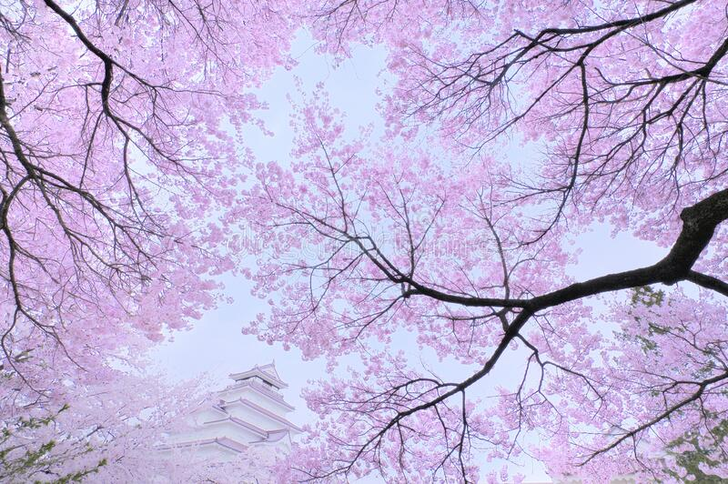 Cherry blossoms with traditional castle royalty free stock images