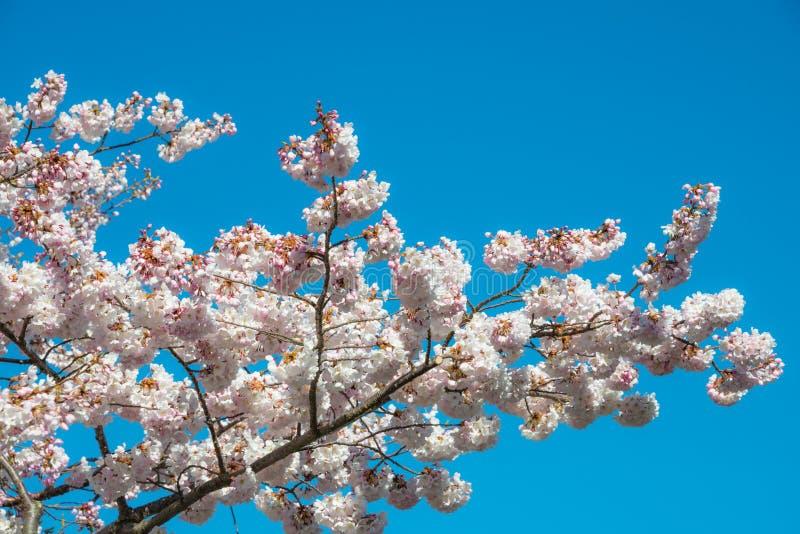 Cherry Blossoms Tree immagine stock