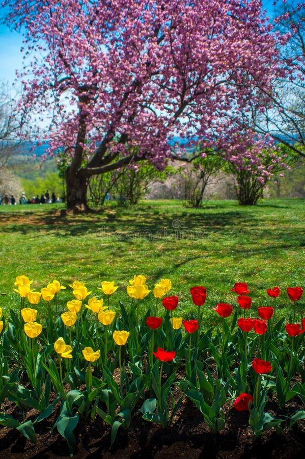 Cherry Blossoms & tulipani fotografia stock