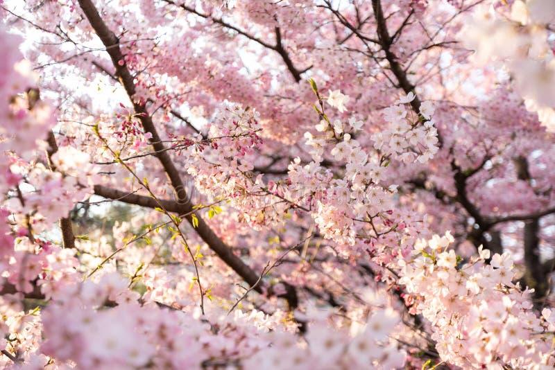 Cherry Blossoms under den Sakura säsongen i Japan royaltyfria foton