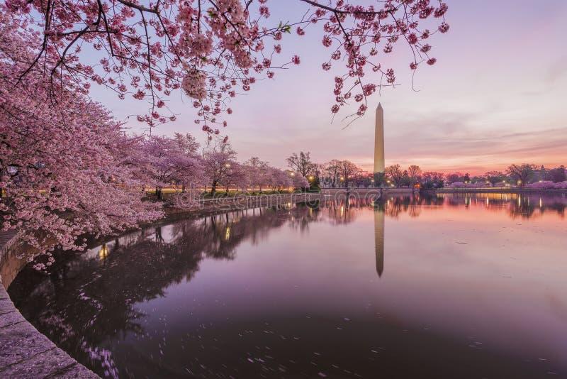 Cherry Blossoms, Washington D C imágenes de archivo libres de regalías