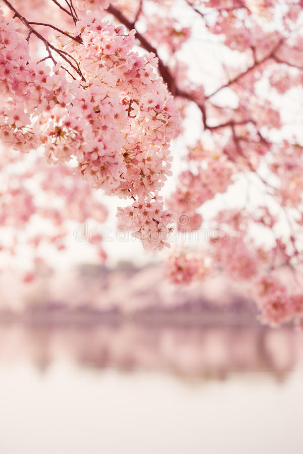 Cherry Blossoms in Washington DC royalty free stock photos