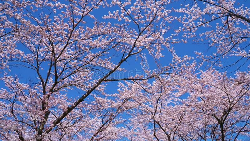 Cherry-blossoms which are viewed from Lake Kawaguchiko in Yamanashi, Japan stock photo