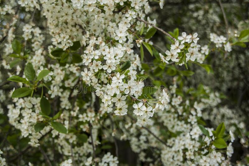 Cherry blossoms, white flower. Cherry blossoms white flower in the orchard royalty free stock image