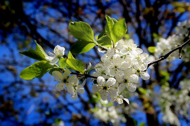 Cherry blossoms. White flowers adorn the branches of a crab Cherry tree in early spring stock images