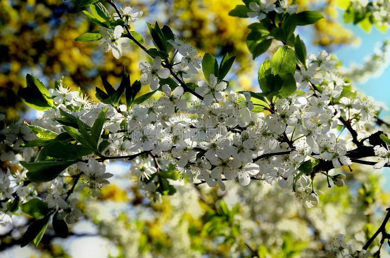 Cherry blossoms. White flowers adorn the branches of a crab Cherry tree in early spring stock photo