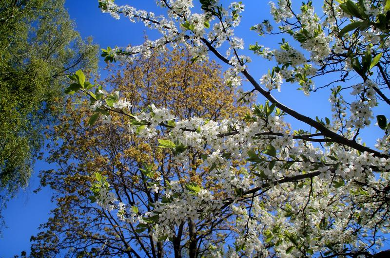 Cherry blossoms. White flowers adorn the branches of a crab Cherry tree in early spring stock photos