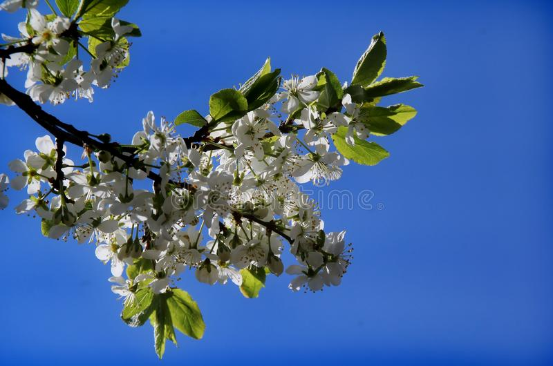 Cherry blossoms. White flowers adorn the branches of a crab Cherry tree in early spring stock photography