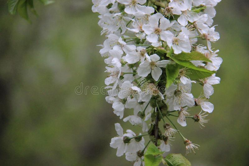 Cherry With Blurs Background branco de florescência foto de stock