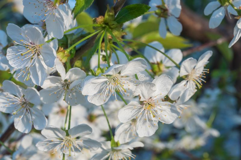 Cherry branch in a beautiful white blooming royalty free stock photos