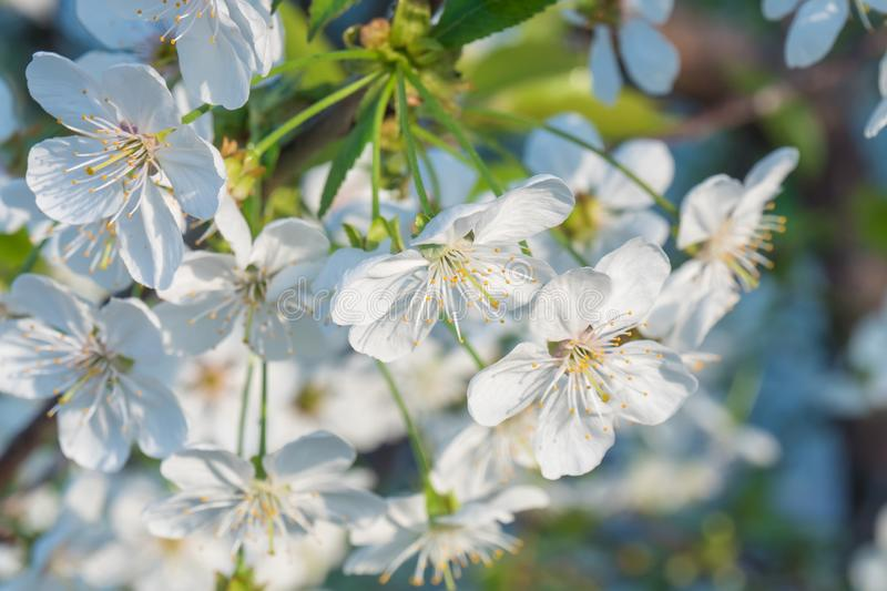 Cherry branch in a beautiful white blooming stock photography