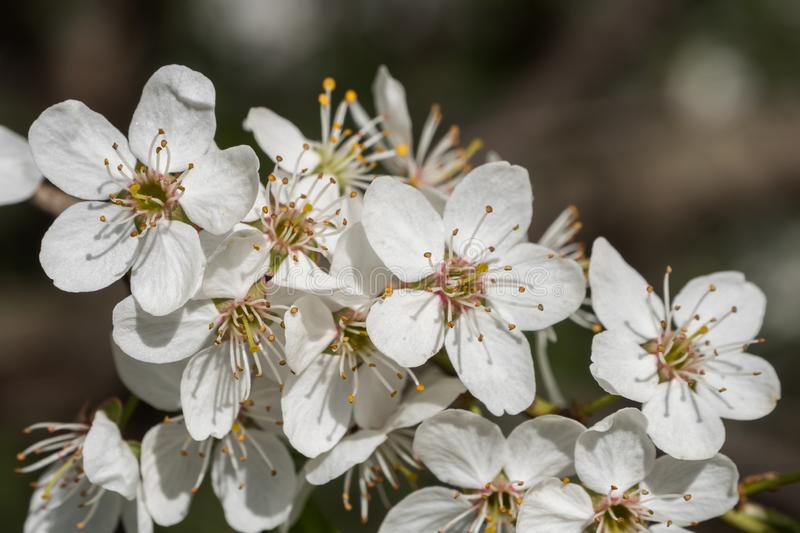 Cherry branch in a beautiful white blooming stock image