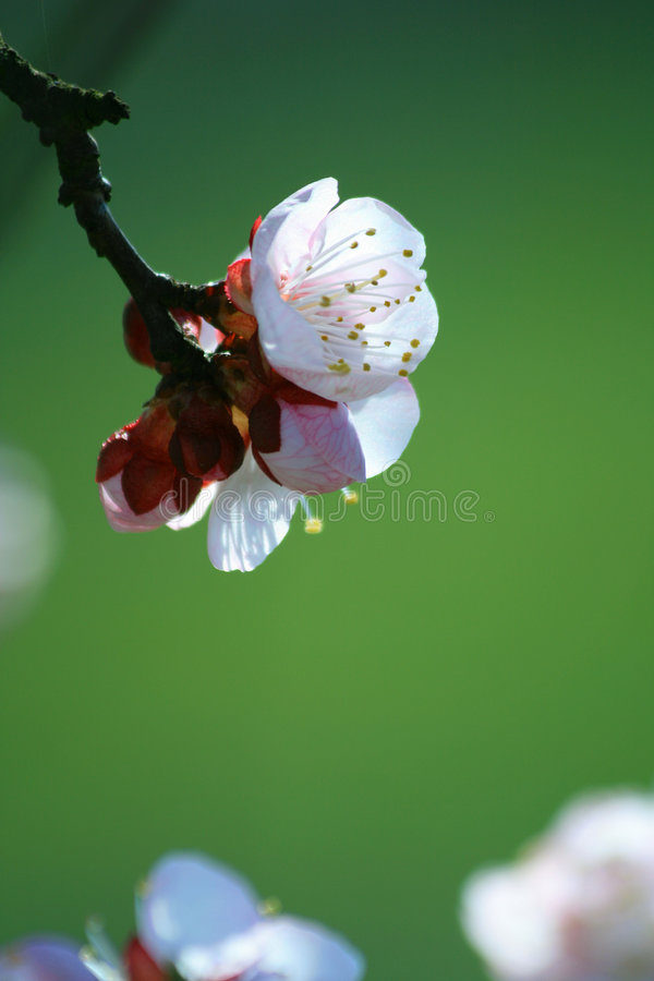 Cherry branch in blossom royalty free stock photo