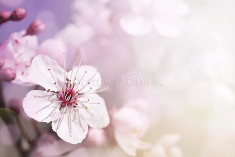 Cherry branch in blossom royalty free stock image