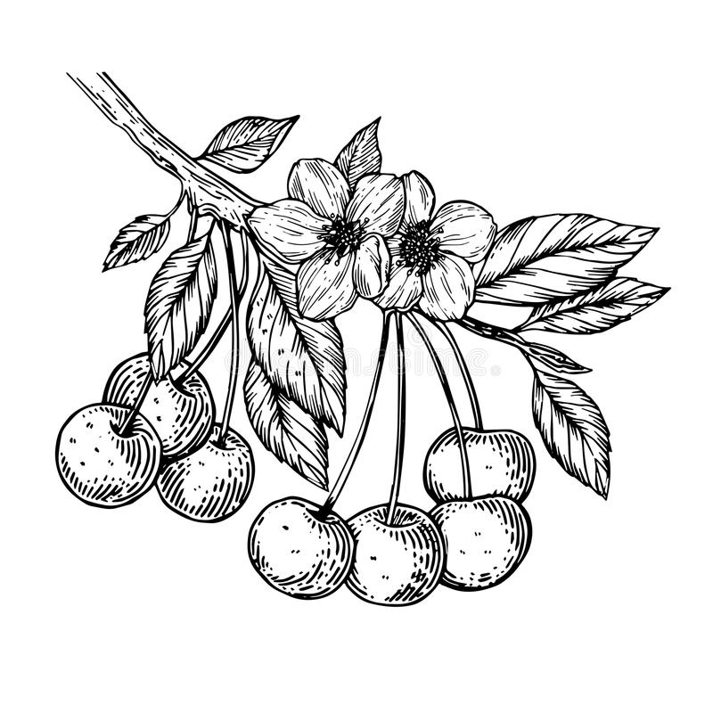 Cherry branch engraving vector illustration. Cherry branch blossom with flower and berries engraving vector illustration. Scratch board style imitation. Black royalty free illustration