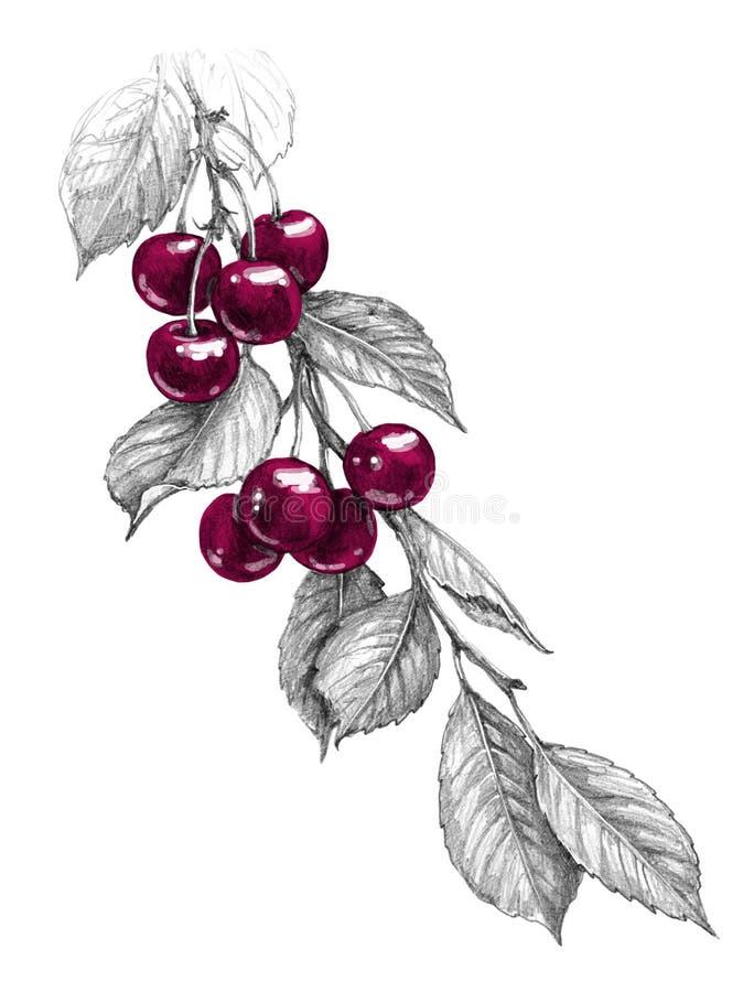 Cherry Branch med röda bär ritar teckningen stock illustrationer