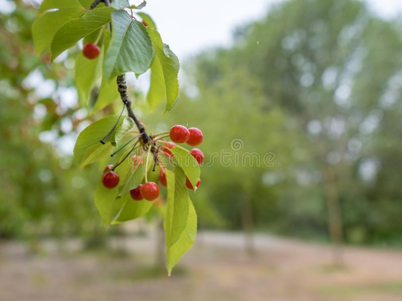 Cherry branch scene in the foreground and with the orchard in the background stock photos