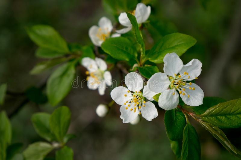 Cherry branch in spring garden with blur effect for abstract background royalty free stock photo