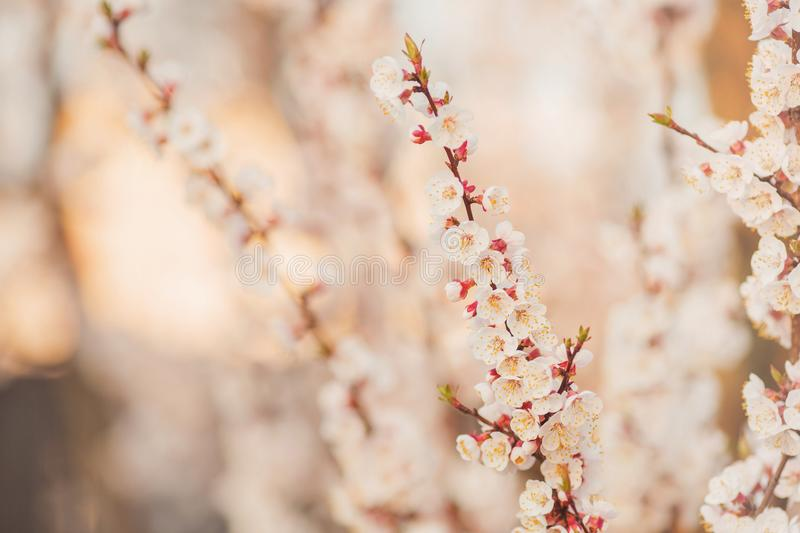 Cherry branch with white flowers. Spring blooming tree background. Nature backdrop. Blooming spring cherry plant in park. Blossom stock photo
