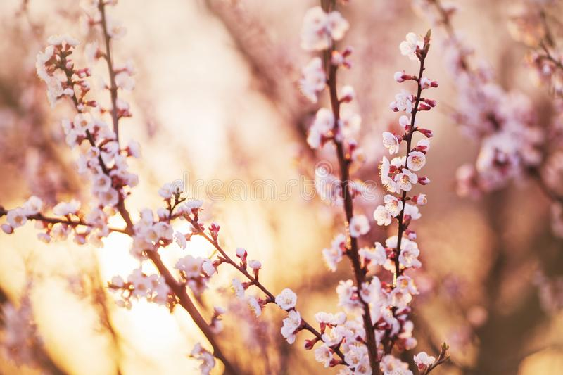 Cherry branch with white flowers. Spring blooming tree background. Nature backdrop. Blooming spring cherry plant in park. Blossom. Sakura in garden. Beautiful stock photos