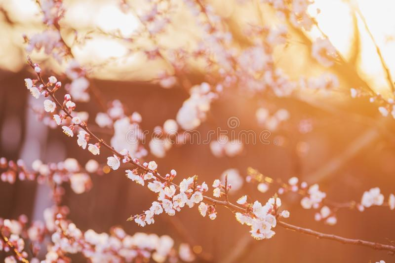 Cherry branch with white flowers. Spring blooming tree background. Nature backdrop. Blooming spring cherry plant in park. Blossom royalty free stock photography