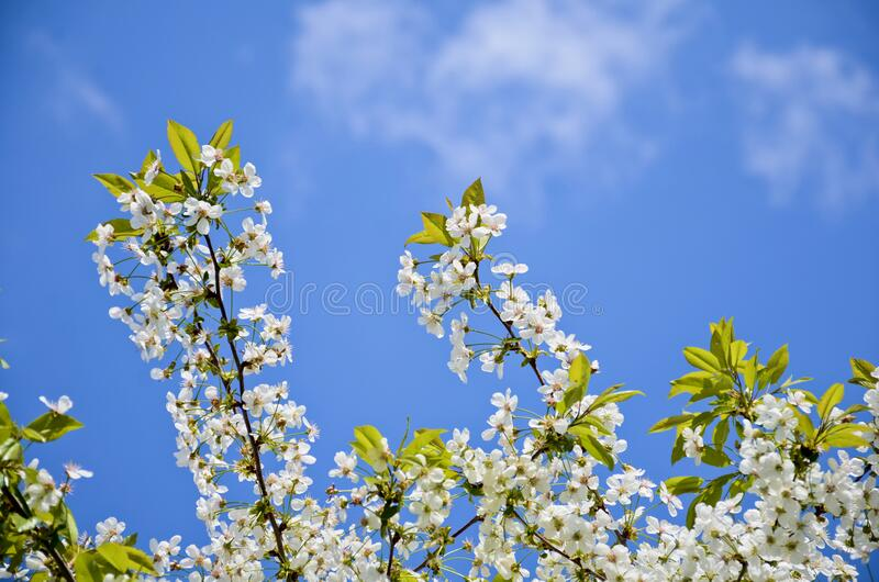 Cherry branches on a background of blue sky. White flowers with green leaves. Selective focus stock photo