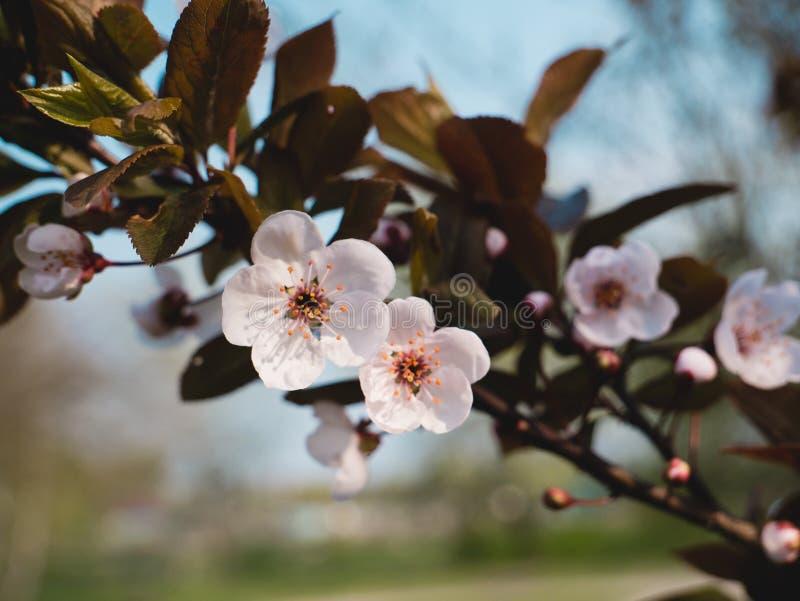 Cherry Buds In Springtime di fioritura Campo di mattina della sorgente? di erba verde e del cielo nuvoloso blu fotografia stock