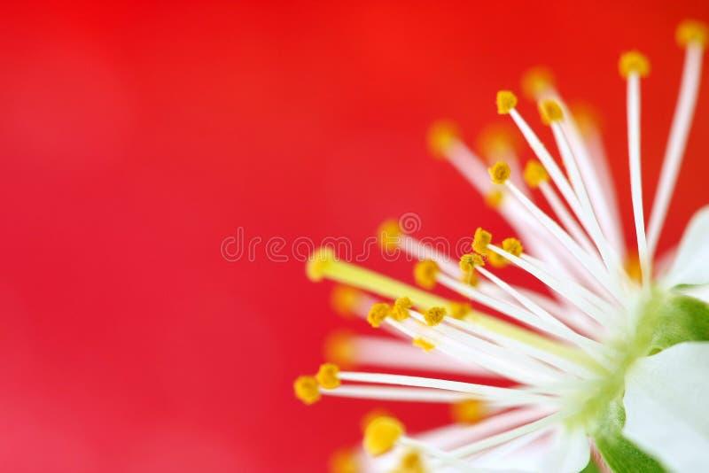 cherry czerwony kwiat zdjęcie stock
