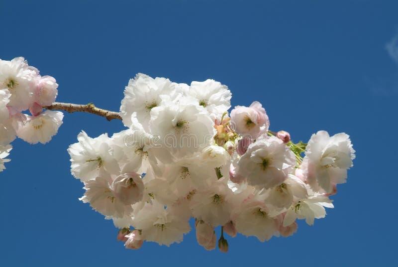 Cherry för 02 blomning arkivbild