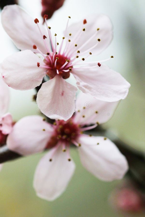 Free Cherry Flower Royalty Free Stock Photography - 1447