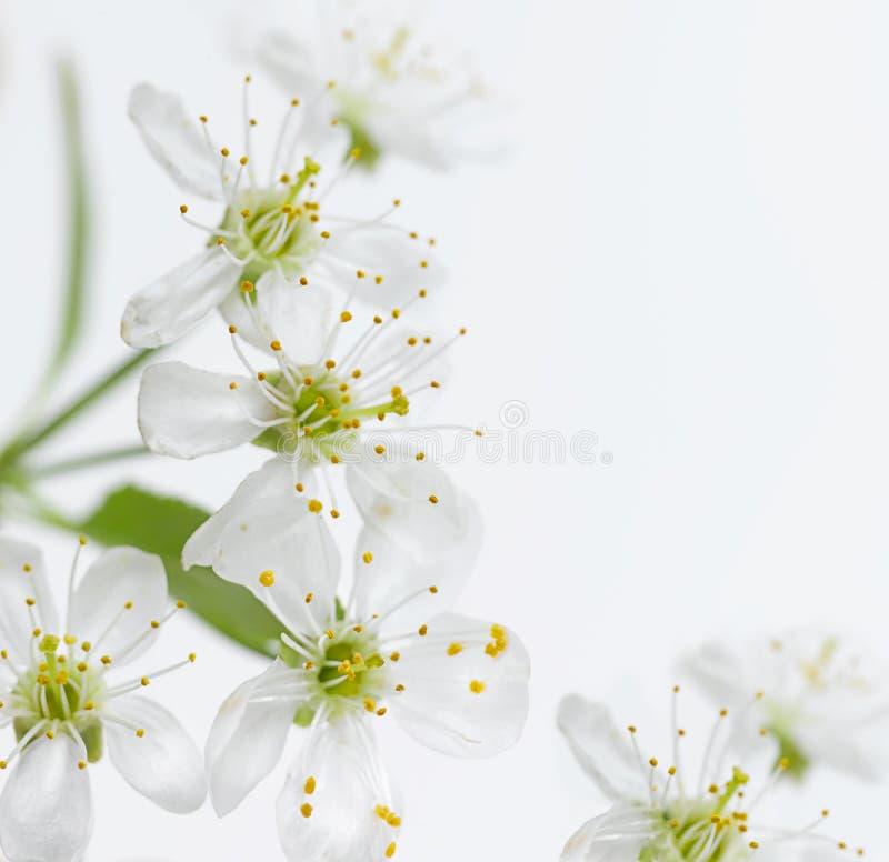 Cherry flower stock image