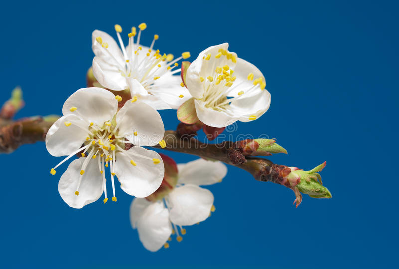 Cherry-flower stock photos