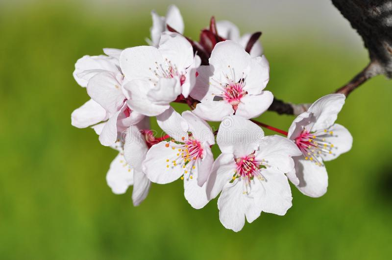 Cherry flower. In Tibet, China. Photo on April, 2010 royalty free stock photography