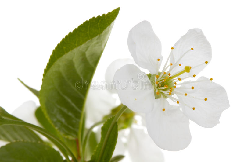 Download Cherry flower stock photo. Image of plant, april, blooming - 23236070