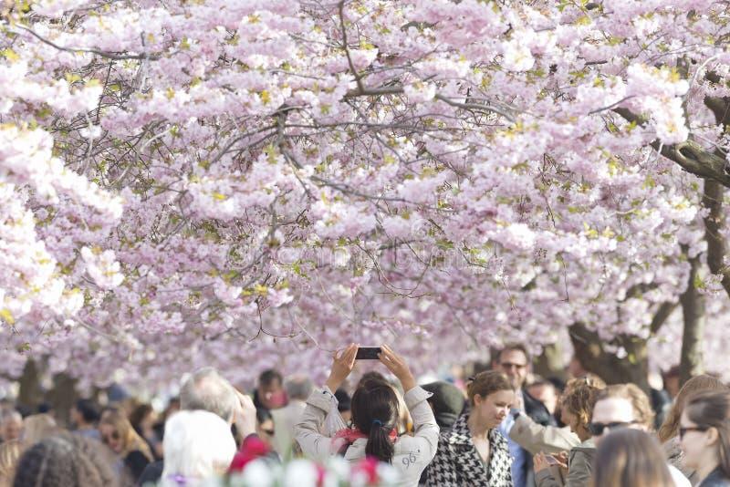 Cherry flower blooming in Kungstradgarden in Stockholm, Sweden stock images