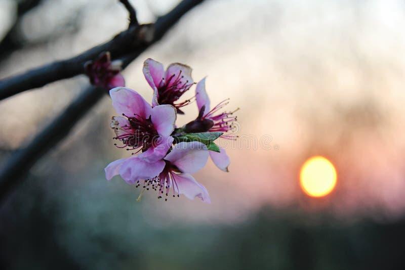 Cherry Flower Blossom rosa al tramonto fotografia stock