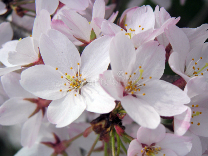 Download Cherry Flowers stock image. Image of early, color, tree - 78223