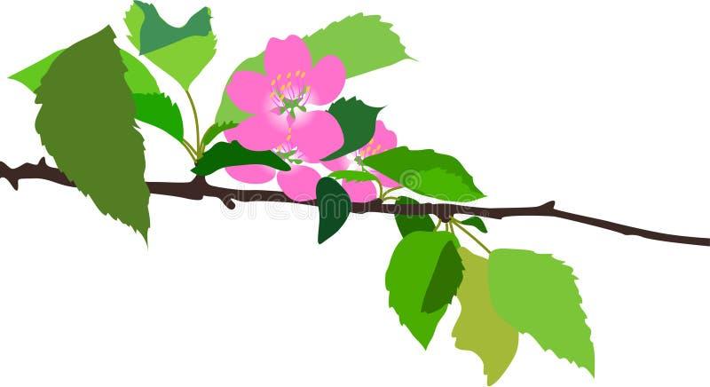 Cherry flowers vector illustration